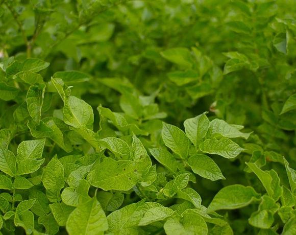 Особливості вирощування картоплі в органічних господарствах